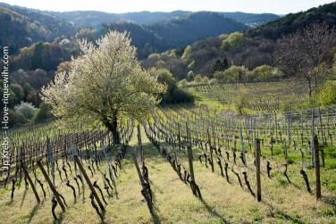 Riquewihr entre vignoble et forêt