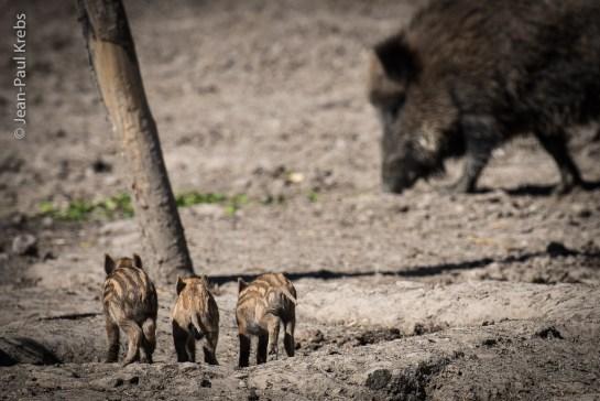 Marcassins au parc animalier de Sainte-Croix