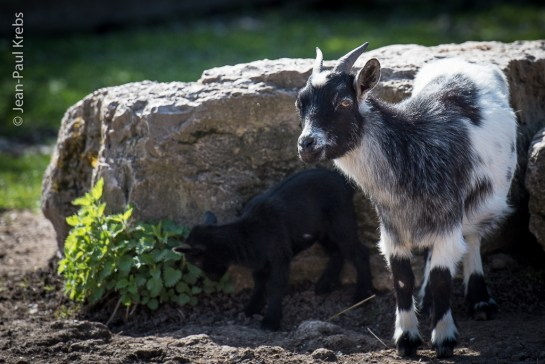 Chèvre avec son cabri nouveau-né à la ferme de Gérald.