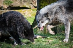Loups noirs scène de soumission