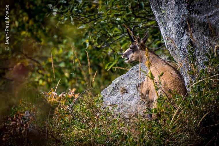 Chamois confortablement installé sur un rocher