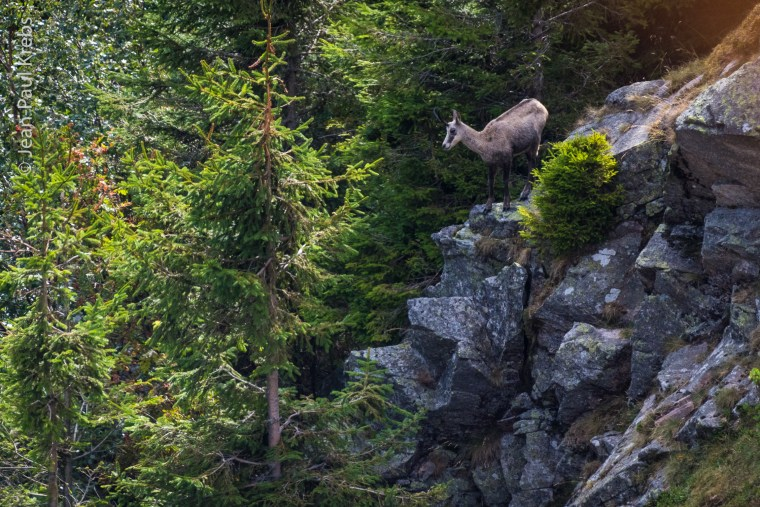 Chamois guettant la montagne du haut de son promontoire rocheux.