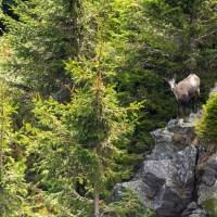 Découvrir le chamois des Hautes-Vosges