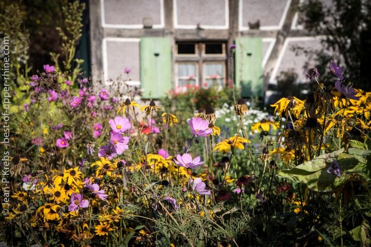 Couleurs et fleurs d'automne devant la ferme. Ecomusée d'Alsace.