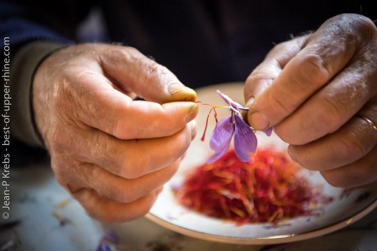 Les stigmates sont les seules parties de la fleur à posséder les propriétés aromatiques et médicinales recherchées.