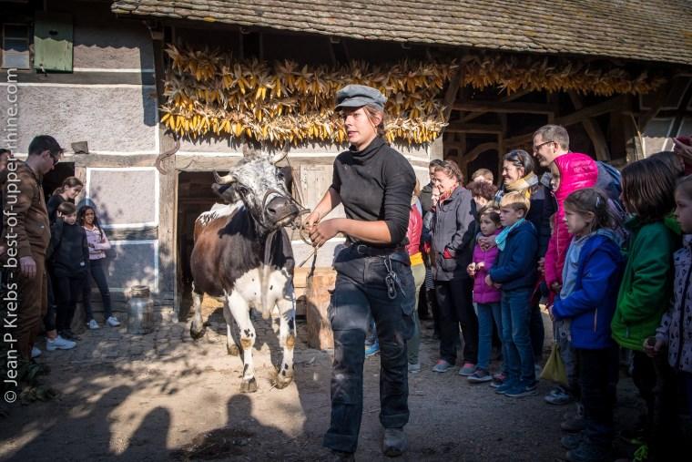 On amène la vache vosgienne pour la traire. Ecomusée d'Alsace.