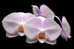 festival-orchidees-londres-fevrier