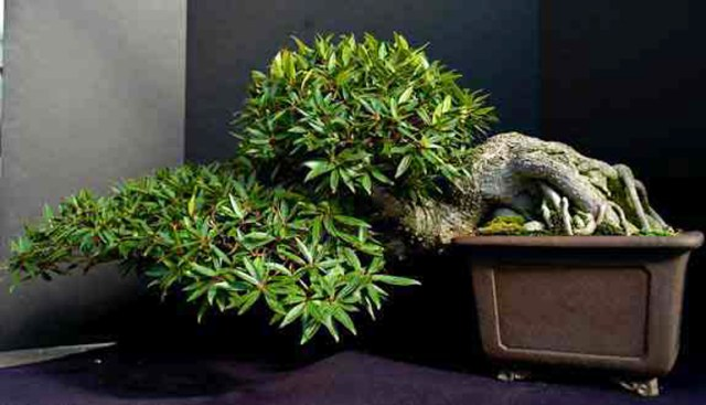 Dave's Ficus 008