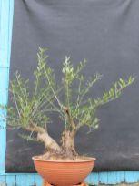 l'olivier avant la taille