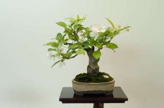 Crab Apple, Shohin, Lene Scheid