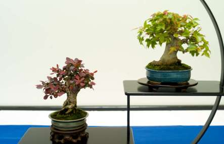 Berberis thunbergii, Trident Maple, Mame-bonsai, Morten Albek