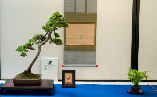 Morten Albek Bonsai of the Year 2013 award winning bonsai with prizes.