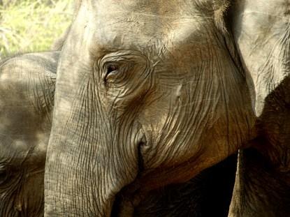 Elephants of Udawalawe National Park, Sri Lanka