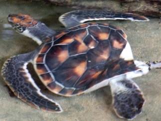 Turtle with Polio, Bentota, Sri Lanka
