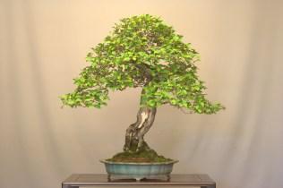 e.multiflora