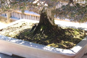 January 31, 2015 shooting Omiya Bonsai Art Museum