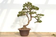 Juniperus chinensis, after - Juniperus chinensis, après