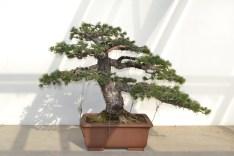 Pinus parvifolia, after - Pinus parvifolia, après