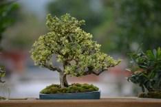 Serrissa foetida 'variegata'
