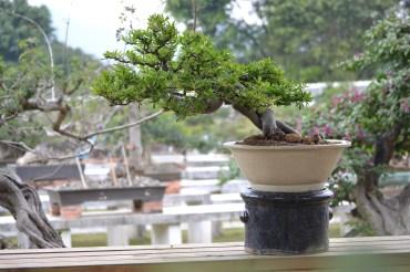 Pyracantha crenulata, semi-cascade taiwan bonsai
