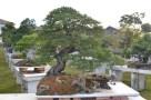 Juniperus chinensis, Shuihan