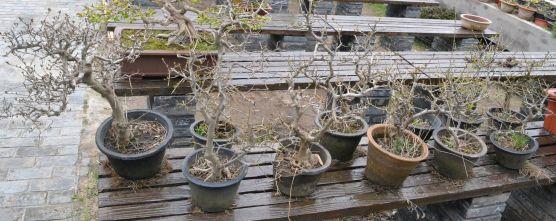 The abundance of plants necessary for the Shuihan penjing created in Yangzhou - L'abondance d'arbres nécessaires à la création du penjing Shuihan créé à Yangzhou