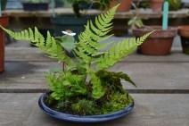 Cornus canadensis and fern - Cornus canadensis et fougère