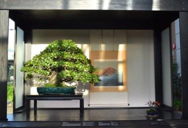 Quercus phillyraeoides