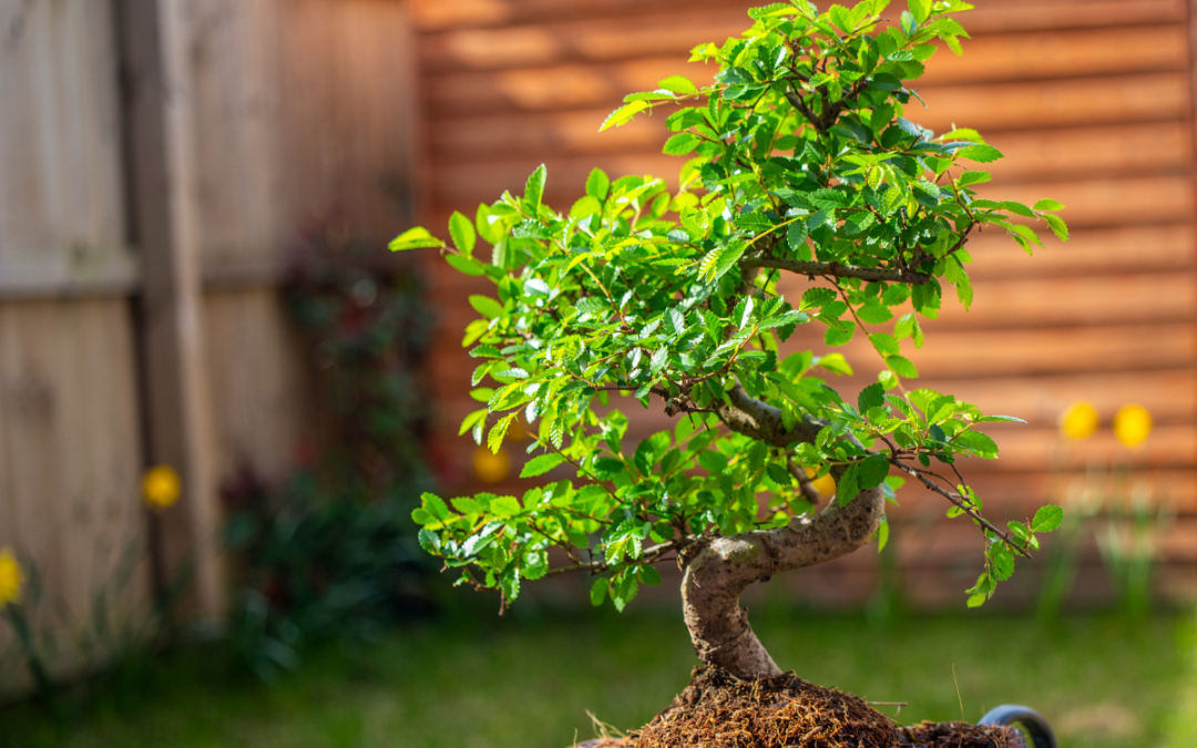 Bonsai Growing 101_ How to Take Care of Your Chinese Elm