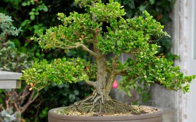 Bonsai Tree Care – How Much Light Do Bonsai Trees Need
