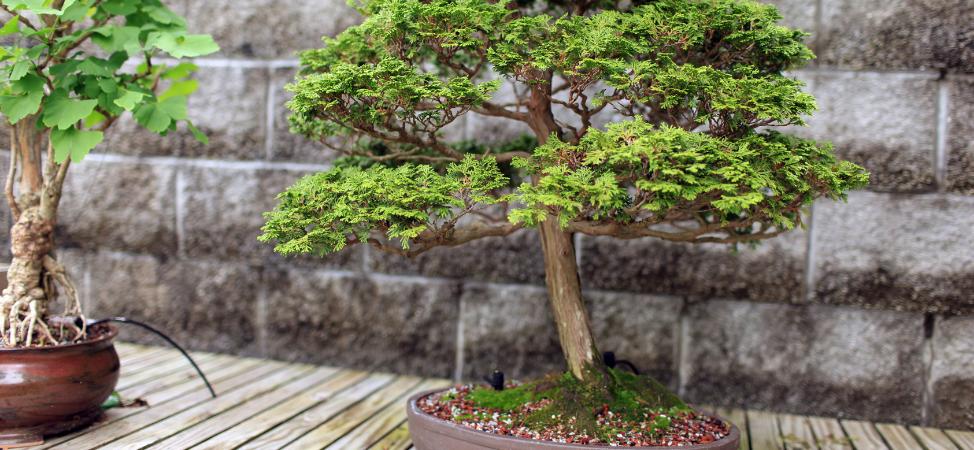 How to Take Care of Your Shimpaku Juniper Bonsai
