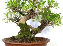 Ficus Bonsai - If you are looking for a traditional bonsai