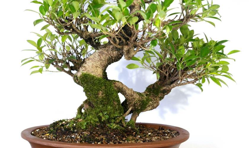 Ficus Bonsai – A Traditional Design