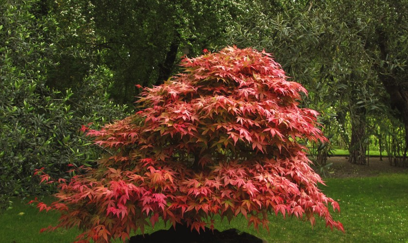 The Spectacular Maple Bonsai