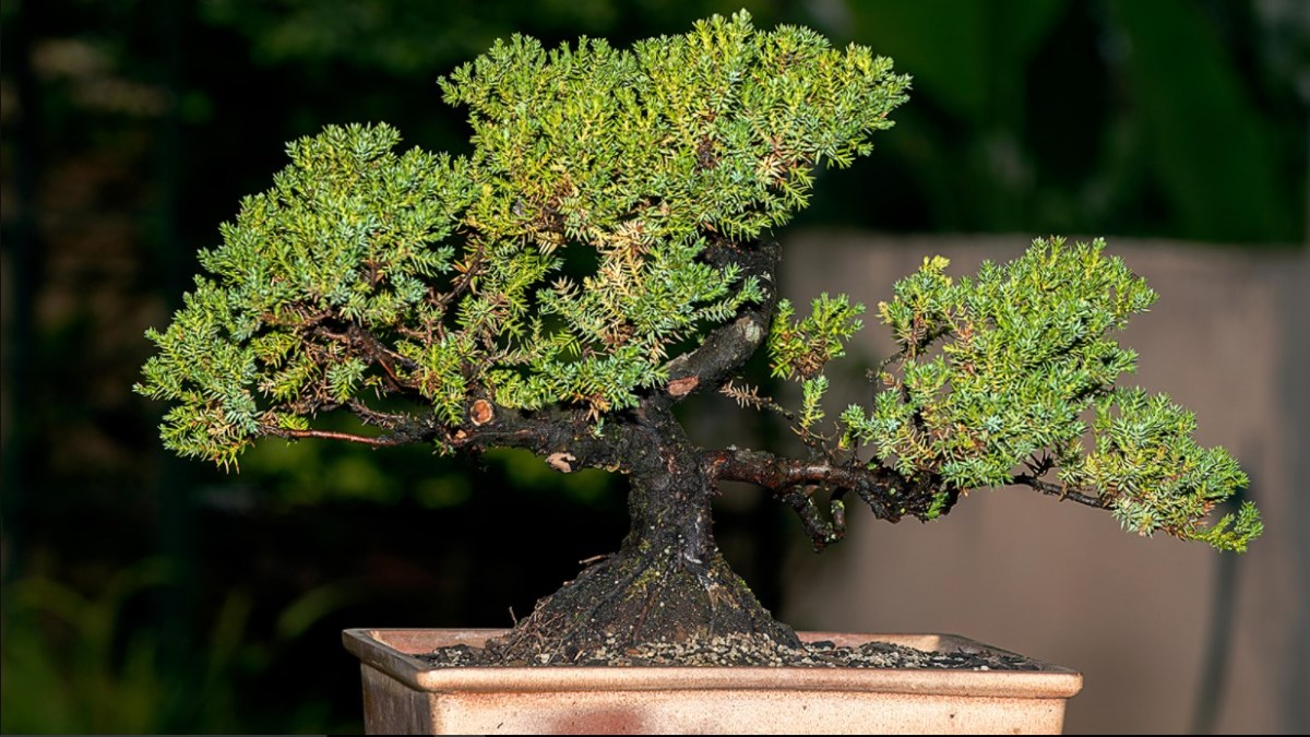 Bonsai Tree as a Hobby
