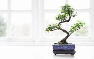 A Challenge of Growing a Bonsai - A challenge for beginners
