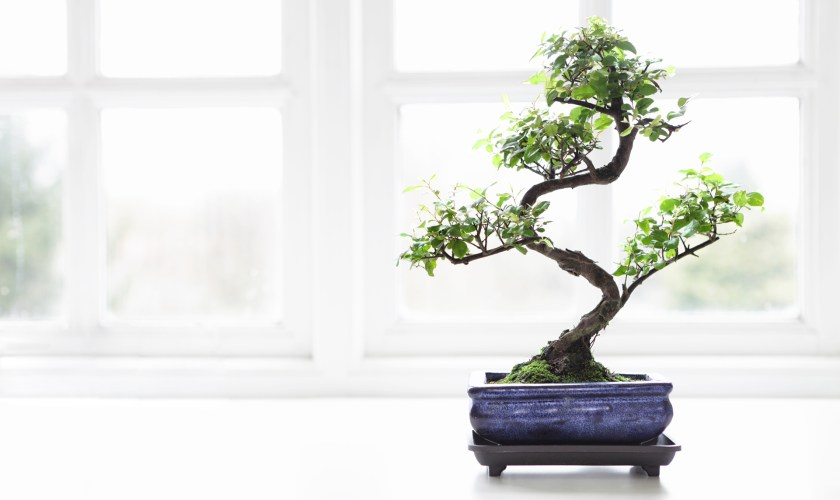 A Challenge of Growing a Bonsai