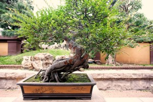 Caring for a Bonsai Tree - A plant turn into a work of art