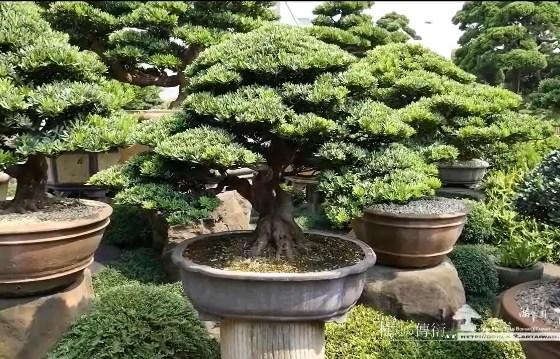 滿峯園古美樹