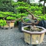 [晶鑽羅漢松]大型盆栽