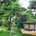 [真柏] 庭園樹.整理
