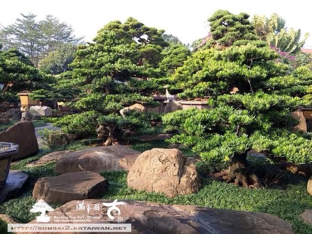 古美樹滿峯園羅漢松庭園造景