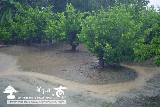 滿峯園古美樹羅漢松盆庭園樹