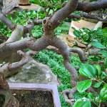 [象牙樹] 象牙樹也可以美美的
