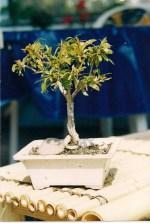 Granatapfel 2003