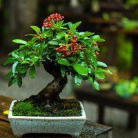 Bonsai shohin træer (Shohin trees)