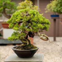 Bonsai træer