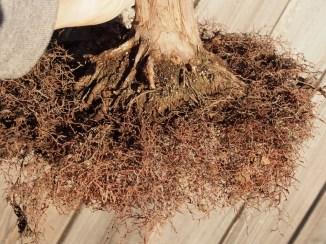 Shimpaku Roots