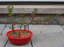 Japanese Quince Cuttings
