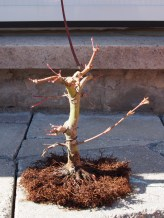 Japanese Maple Bare Rooted